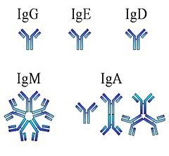 Анализ крови на иммуноглобулин